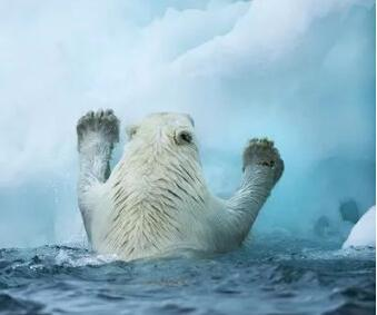 北极圈罕见32℃高温,我们或许再也看不到北极熊了……