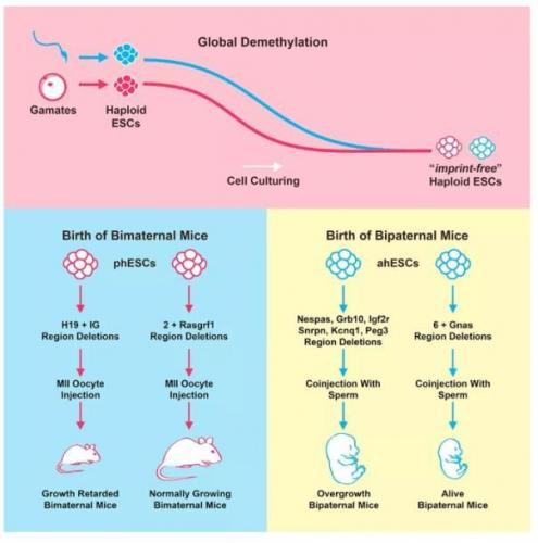 中国科学家利用新基因技术实现小鼠无性繁殖