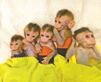 """世界首批""""失眠""""克隆猴诞生 这五只猴有啥意义?"""
